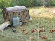 The posted image Chickens 8.JPG