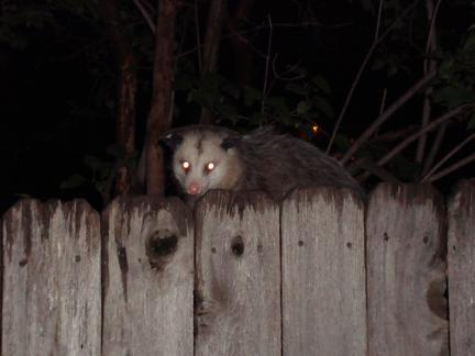 Possums in Minneapolis